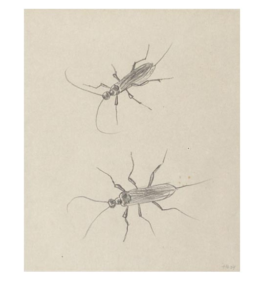 A drawing on beige paper of two cockroaches.