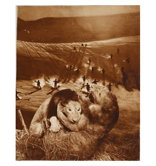 A collage of two maned lions fighting in the foreground, and a group of people skiing down a hill in the background.
