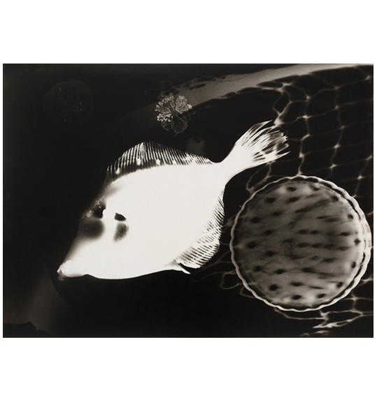 An image of a white fish with short spines on its top and bottom, on a dark background. A circular shapes with scalloped edges appears to the right of the fish.